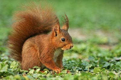 mangeoire-écureuil