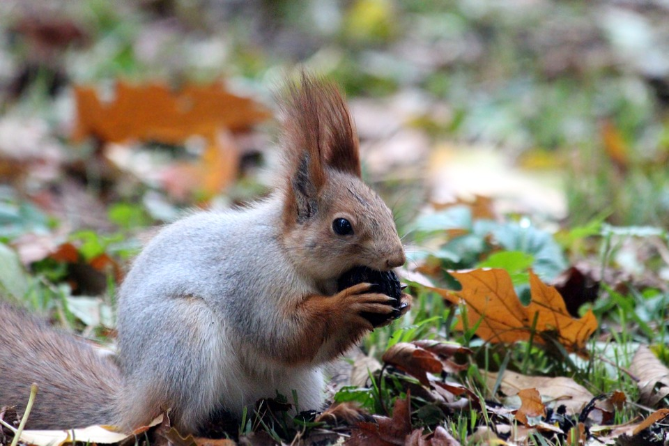red-squirrel-2353145_960_720