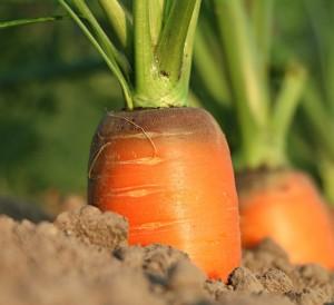 carrot-1565597_960_720