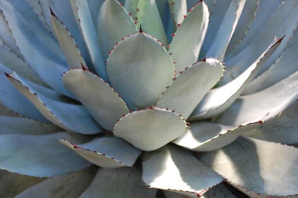 Agave de Parryi plantes pour un jardin moderne