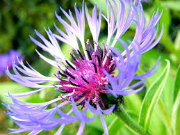 bleuet plante mellifère